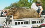 Nice Florida Hog