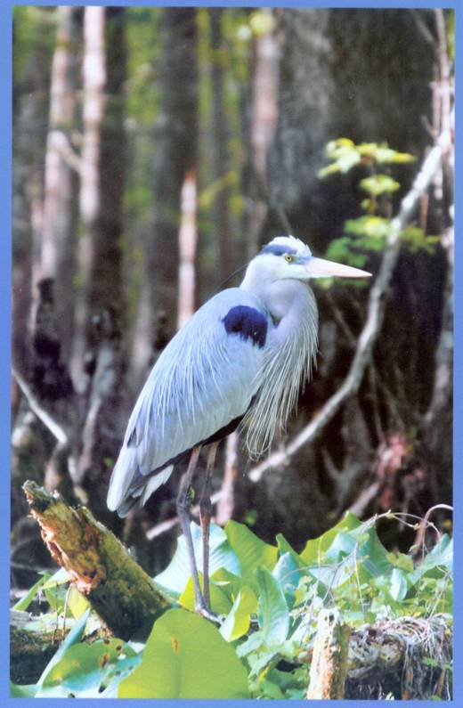 That's A Great Blue Heron ...