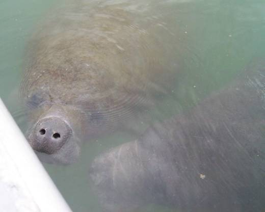 Citrus County Manatees, Part Of The Winter Saltwater Fishing Show