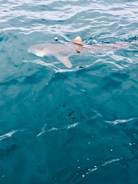 Nice Tiger Shark Caught & Released With Captain John