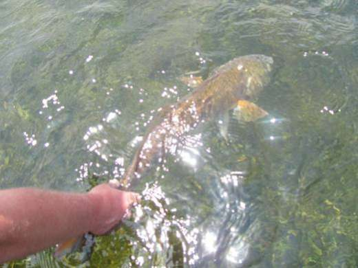 Steinhatchee Redfish Wanting To Be Released