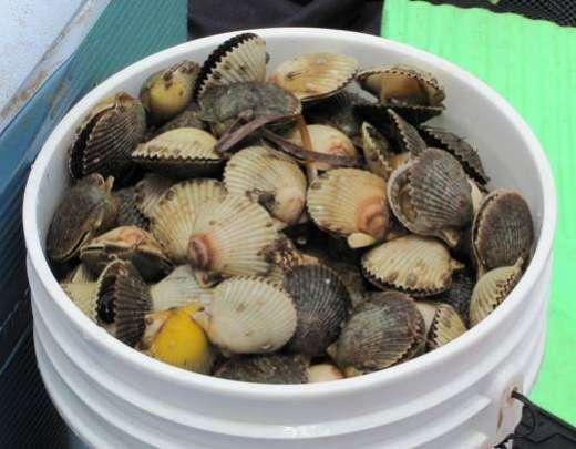 A Bucket Full Of Steinhatchee Scallops