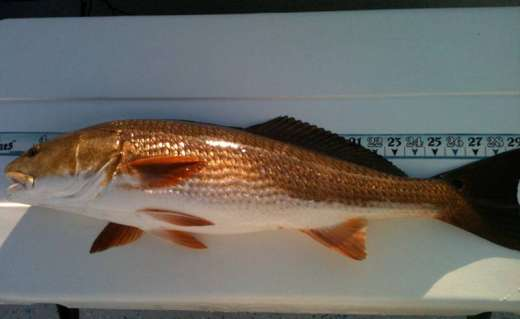 A Nice Steinhatchee Redfish Caught WIth Pepperfish Key Charters