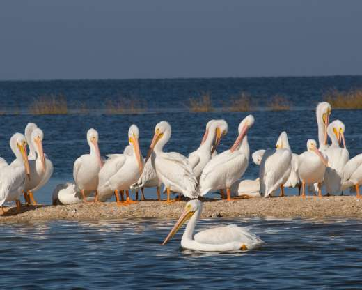The White Pelicans Are Back