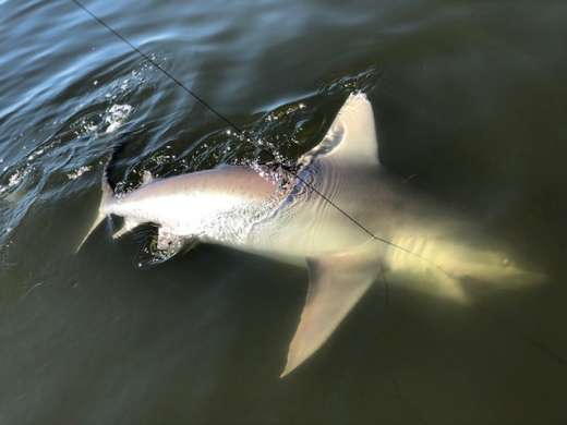 Mr. Parker with a 7ft bull shark