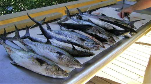Nice Catch Of Spanish Mackerel At The Cedar Key Marina