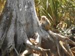 Silver River Rhesus Monkey