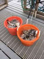 Two baskets of Sheepshead caught with Captain John