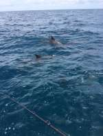 Dolphins playin and messing Capt John's fishing up