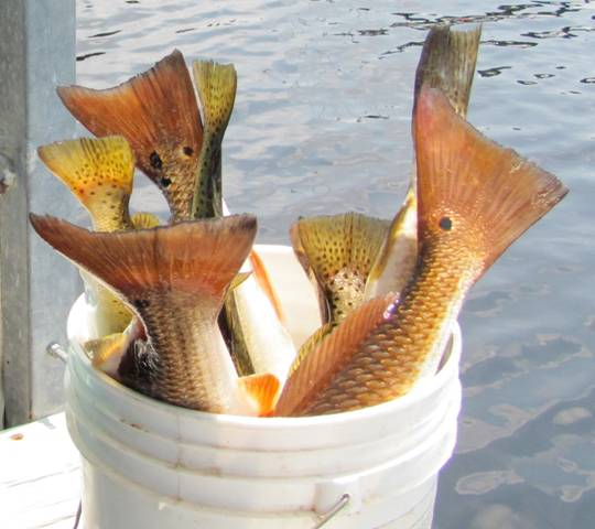 A Bucket Full Of Redfish And Trout