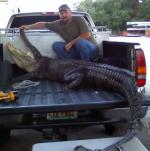 Nice Florida Gator, Taken Gator Hunting in North Florida ...