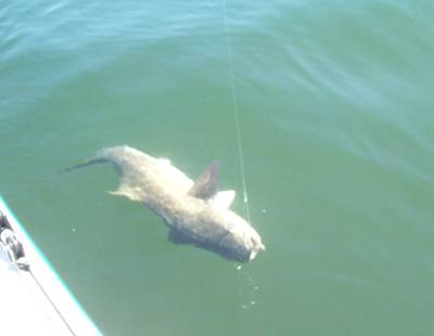 A cobia coming to the boat
