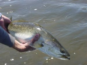 Steinhatchee Florida Trout