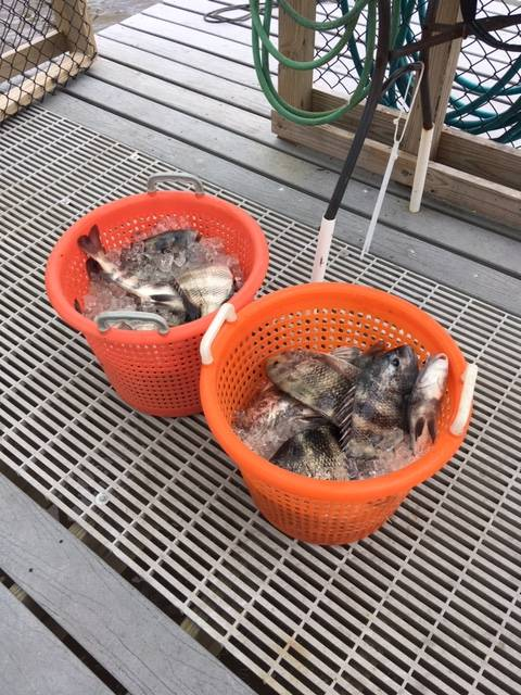 2 baskets of Sheepshead caught with Captain John